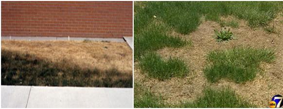 grass mites