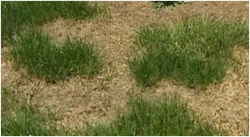 grass brown control in yard