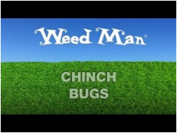 chinch bugs video