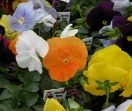 It's time to plant pansies
