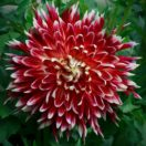 It's Time to Save the Dahlias!