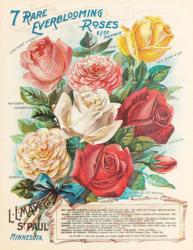 7 rare everblooming roses
