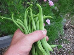 veggie in yard