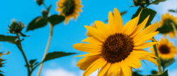 plant some sunflowers