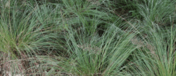 Try native grasses